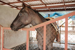 Het gestagneerde paard in stal voelt ongelukkig en geen vrijheid Stock Fotografie