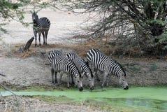 Het gestreepte drinken van de groep door groene waterhole - Tanzania Royalty-vrije Stock Afbeeldingen
