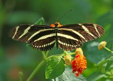 Gestreepte Vlinder Longwing op Bloem Lantana Royalty-vrije Stock Foto's