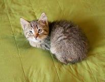 Het gestreepte katje liggen Stock Foto