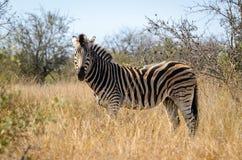 Het gestreepte nationale Park van Kruger, de safaridieren van Zuid-Afrika, het wildfotografie stock foto's