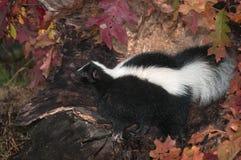 Het gestreepte Stinkdier (Mephitis-mephitis) kijkt Linker in Logboek Stock Foto's