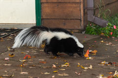 Het gestreepte Stinkdier (Mephitis-mephitis) loopt dichtbij Huis Stock Foto