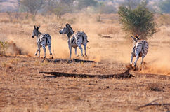 Afrikaanse zebra Stock Foto's
