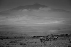 Het gestreepte weiden in de schaduw van Ngorongoro Stock Foto's