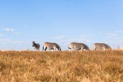 Het gestreepte Zwangere Wild van ` s Royalty-vrije Stock Foto's