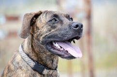Het getijgerde Hond Glimlachen Stock Afbeeldingen