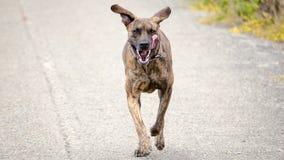 Het getijgerde Hond Lopen Royalty-vrije Stock Fotografie