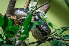 Het gevaarlijke cobraslang kijken stock foto's