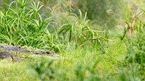 Het gevaarlijke Krokodille Verbergen in Lang Gras royalty-vrije stock foto