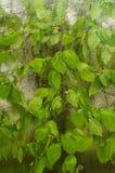 Het gevallen die blad aan het venster wordt geplakt dat van regen nat wordt daalt Comfortabel venster met de lente nieuwe bladere royalty-vrije stock afbeeldingen