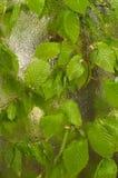 Het gevallen die blad aan het venster wordt geplakt dat van regen nat wordt daalt Comfortabel venster met de lente nieuwe bladere stock afbeelding