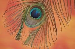 Het gevederte van de pauw Stock Foto