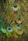 Het gevederte van de pauw royalty-vrije stock afbeeldingen