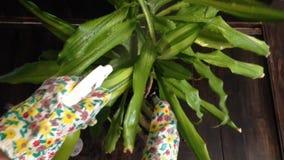 Het geven voor een houseplant Dracaena stock video