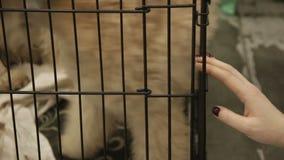Het geven vrouwelijk vrijwilligers het kiezen terriërpuppy voor goedkeuring, vriendelijkheid aan dieren stock footage