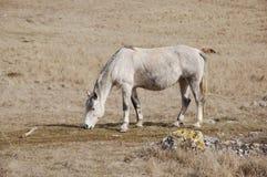 Het gevlekte paard Stock Fotografie