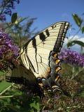 Het gevleugelde Insect van de Vlinder stock foto's
