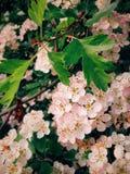 Het gevoelvolle blozen witte clusters van haagbloemen stock afbeelding