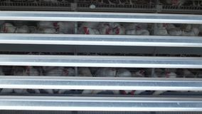 Het gevogeltelandbouwbedrijf, kippen zit in openluchtkooien en eet gemengd voer, op transportbanden lig kippen` s eieren, gevogel stock video