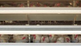 Het gevogeltelandbouwbedrijf, kippen zit in openluchtkooien en eet gemengd voer, op transportbanden lig kippen` s eieren, gevogel stock footage