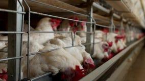 Het gevogeltelandbouwbedrijf voor het fokkenkippen, kippeneieren gaat door de de de manufactory vervoerder, kippen en eieren, stock videobeelden