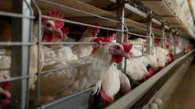 Het gevogeltelandbouwbedrijf voor het fokkenkippen, kippeneieren gaat door de vervoerder, de kippen en de eieren, fabriek stock video