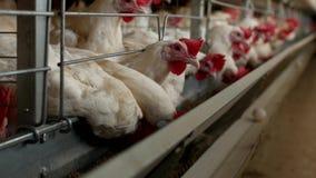 Het gevogeltelandbouwbedrijf voor het fokkenkippen, kippeneieren gaat door de vervoerder, de kippen en de eieren, de landbouw stock videobeelden