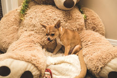 Het gevulde Chihuahuapuppy op groot draagt Stock Foto