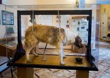 Het gevulde experimentele Museum van hondenpavlov ` s van Hygiëne in St. Petersburg Stock Foto's