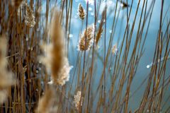 Het gewas van het close-upgraangewas, blauwe vijver in het zonlicht stock afbeelding