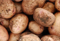 Het gewas van de aardappel stock foto