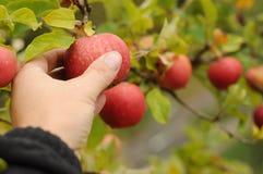 Het gewas van de appel stock foto's