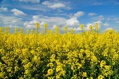 Het gewas van de raapzaadlente op landbouwgrond, lid van de familie Brassicaceae en gecultiveerd hoofdzakelijk voor zijn olie rij royalty-vrije stock afbeelding