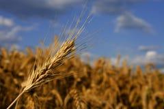 Het gewas van de tarwe klaar voor oogst stock afbeeldingen