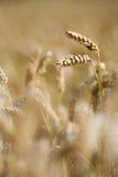 Het gewas van de tarwe op het gebied Stock Fotografie