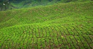Het gewas van de thee in Cameron Highlands, Maleisië Stock Afbeeldingen