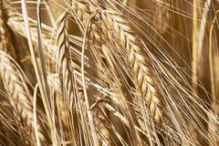 Het Gewas van het graan stock afbeeldingen