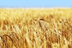 Het Gewas van het graan Stock Foto's