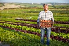 Het Gewas van landbouwerswith organic tomato op Landbouwbedrijf royalty-vrije stock foto's