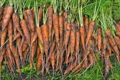 Het gewas van wortelen Stock Foto's
