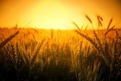 Het gewassenachtergrond van de tarwe met gele exemplaarruimte Royalty-vrije Stock Foto's