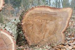 Het gezaagde eiken hout van de boomboomstam Stock Afbeelding