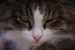 Het gezicht loenste kat stock afbeelding
