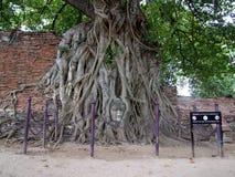 Het gezicht van Boedha in wortels, Ayutthaya, Thailand Stock Afbeelding