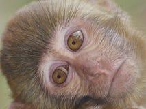 Het gezicht van de aap Stock Foto