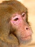 Het gezicht van de aap Stock Afbeelding