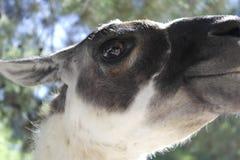 Het gezicht van de alpaca royalty-vrije stock afbeelding