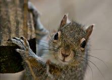 Het Gezicht van de eekhoorn Royalty-vrije Stock Foto