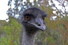 Het Gezicht van de emoe Royalty-vrije Stock Afbeelding